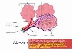 Gambar Struktur Paru Paru Bronkus Bronkiolus Dan Alveolus