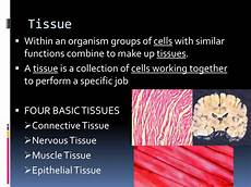which tissues work together to form muscles ppt body organization powerpoint presentation id 2493411