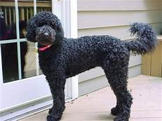black labradoodle haircuts labradoodle puppies breeders labradoodles