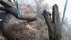 Fakta Fakta Ular Piton Raksasa Mirip Anaconda Yang Mati