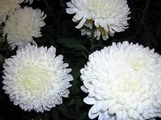 fiore a palla crisantemo snodo