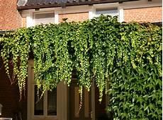 kletterpflanze schatten immergrün jungfernrebe selbstklimmer dreilappige jungfernrebe