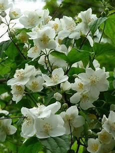 arbuste à fleurs blanches odorantes arbuste fleurs blanches odorantes printemps vap vap