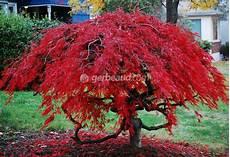 Erable Rouge Du Japon Erable Du Japon Acer Palmatum