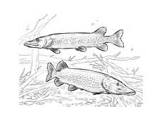 Malvorlagen Fische Hecht Ausmalbilder Hecht Malvorlagen Kostenlos Zum Ausdrucken