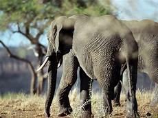 Gambar Gajah Foto Gajah