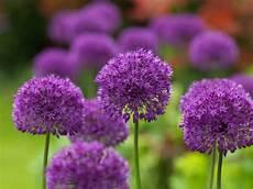 fiori lilla nomi allium purple sensation j m berkel finest