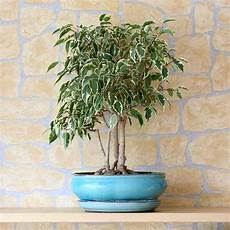 Weeping Fig How To Grow And Care For Ficus Benjamina
