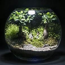 Terrarium Trois Ficus Ginseng Et Helixine Vendu