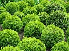 Buchsbaum Pflegeanleitung Und Alles Rundum Finden Sie