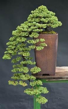 bonsai richtig pflegen bonsai baum kaufen und richtig pflegen einige wertvolle