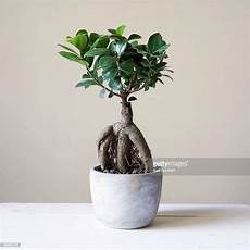 Ginseng Baum Pflege - care for ficus microcarpa ginseng adinaporter