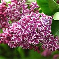 fiori lilla nomi fiori lill 224 fiori di piante caratteristiche dei fiori