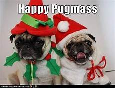 merry christmas to all my pug loving friends followers pugs funny pugs pug christmas