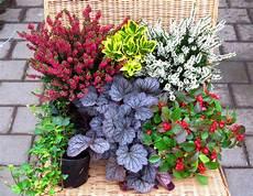 balkonpflanzen herbst winter balkonpflanzen set pflanzen versand harro s pflanzenwelt
