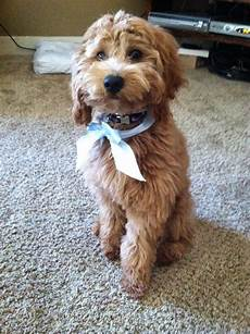 goldendoodle haircuts pets goldendoodle haircuts f1b goldendoodles by rosie what generation of goldendoodles are indy s puppies