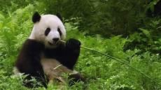 45 Fakta Menarik Tentang Panda Yang Lucu Lu Kecil