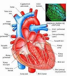 Gambar Anatomi Ginjal Coecum Usus Besar Sistem Urinaria