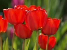 tulpen rot foto bild pflanzen pilze flechten