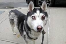 Ausmalbilder Hunde Husky Ecko A1112955