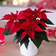 weihnachtsstern pflanze pflege zimmerpflanzen ausw 228 hlen aber wie innendesign