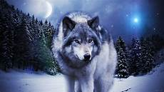 supreme wolf wallpaper 71 cool wolf wallpapers on wallpaperplay