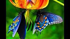 Kupu Kupu Cantik Dan Indah