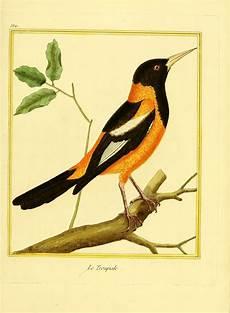 turpial dibujos gravures oiseaux buffon gravures oiseaux buffon 532 troupiale gravures illustrations