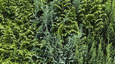 Thuja Hecke Pflanzen Und Schneiden