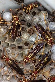 wespen im mauerwerk bienenbeisser fugenl 252 fter wenn wespen die hausd 228 mmung