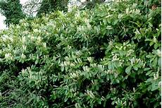 haie laurier grand plant de laurier cerise haie verte ete comme