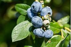 heidelbeeren blaubeeren pflanzen zeitpunkt anspr 252 che