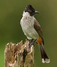 Membedakan Burung Kutilang Jantan Dan Betina Jbbkicau