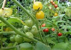 tomaten pflanzen auf dem eigenen balkon so klappt es