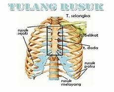 Fungsi Tulang Rusuk Pengertian Anatomi Letak Struktur