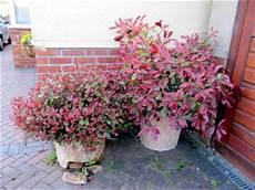 Le Photinia Un Arbuste Persistant Au Feuillage Pour
