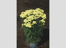 Achillea (Yarrow) 'Sunny Seduction'   Rozanne and Friends®