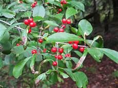 pflanze mit roten beeren plants and stones berries