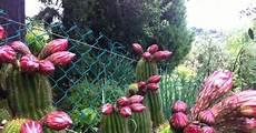 fiori di bacco bacco per bacco italia poveri fiori di cactus