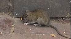 D 233 Barrasser Des Rats 224 Bruxelles Expert Anti Rats