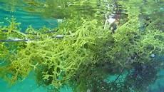 Kupasan Mh63 Mengenal Rumput Laut Jenis Eucheuma