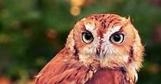Gambar Burung Hantu Terbaru Kumpulan Gambar