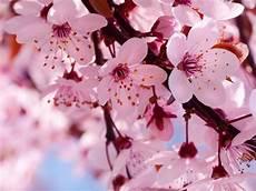 fior di ciliegio significato fiori di ciliegio significato fiori fiori