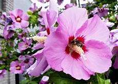 hibiscus entretien hibiscus syriacus alth 233 a mauve en arbre