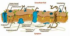 what is the cell membrane composed of quora