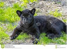 jaguar animal noir petit animal noir de jaguar photo stock image 83401787