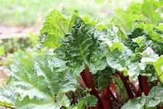 ab wann kann man rhabarber ernten rhabarber pflanzen anbauen aussaat pflege im garten