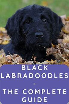 black labradoodle haircuts black labradoodles complete guide to an adorable dog labradoodle home