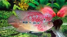 Gambar Ikan Cupang Gambar Ikan Louhan Srd Lokal