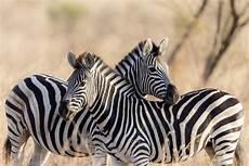 zebra bild zebra bild enteiran